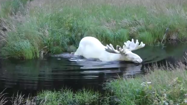 Como salido de un cuento de hadas: graban a un alce albino en Suecia - Sputnik Mundo