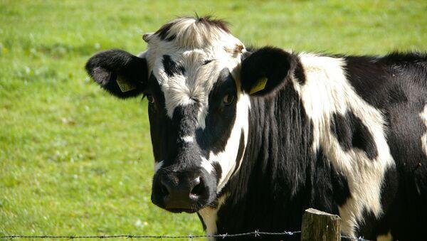 Una vaca (archivo) - Sputnik Mundo