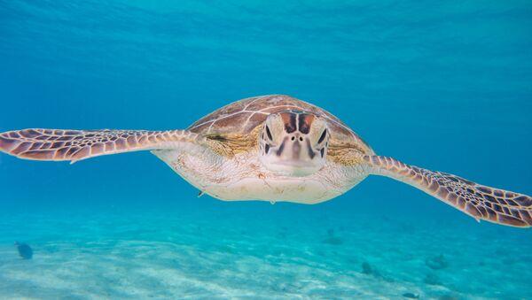 Una tortuga verde (imagen referencial) - Sputnik Mundo