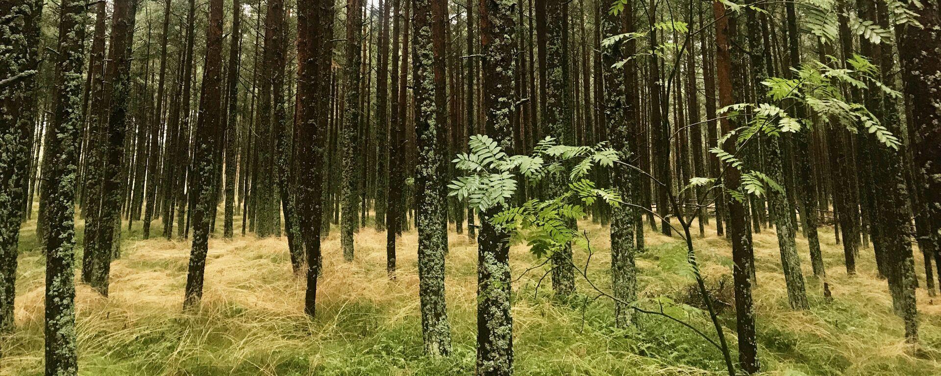 Los bosques del Parque Natural del Istmo de Curlandia son Patrimonio de la Unesco - Sputnik Mundo, 1920, 16.03.2021