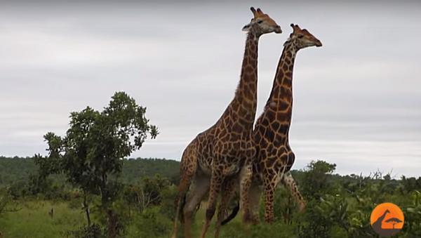 Jirafas en el Parque Nacional Kruger - Sputnik Mundo