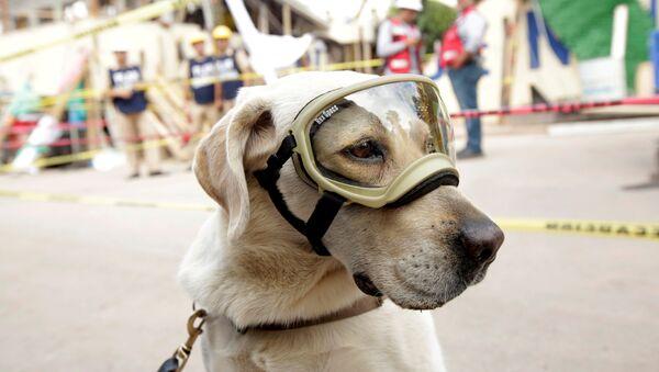 El perro-rescatista Frida - Sputnik Mundo