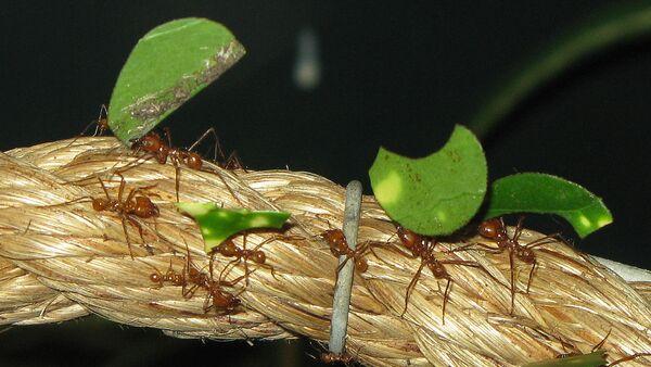 Hormigas cortadoras de hojas - Sputnik Mundo