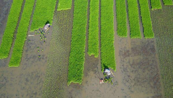 Una plantación de arroz en China (archivo) - Sputnik Mundo