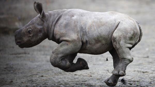 Una cría de rinoceronte (imagen referencial) - Sputnik Mundo