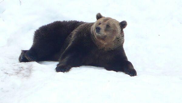 Un oso sobre la nieve (imagen referencial) - Sputnik Mundo