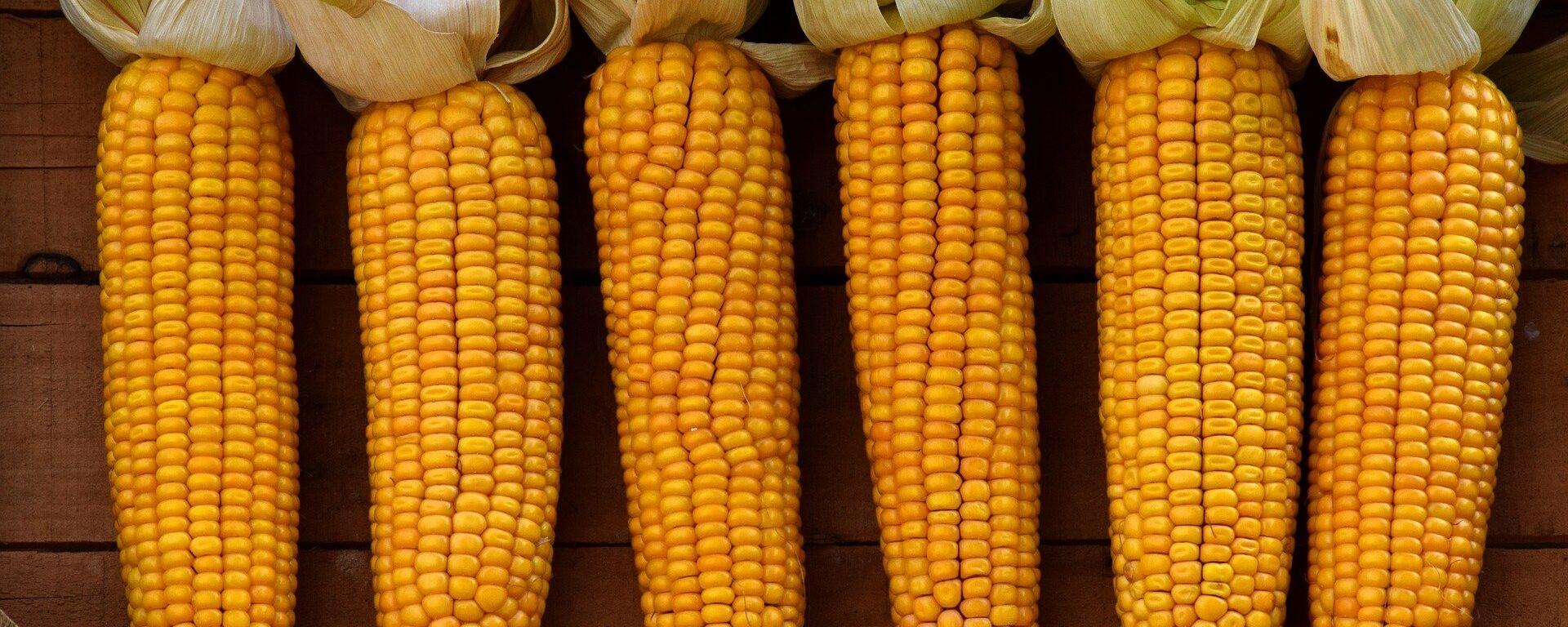 Mazorcas de maíz  - Sputnik Mundo, 1920, 10.11.2020