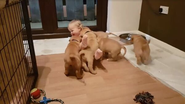 Los cachorros 'atacan' a niña pequeña - Sputnik Mundo