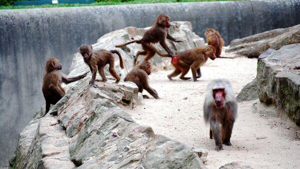 Babuinos en un zoológico - Sputnik Mundo