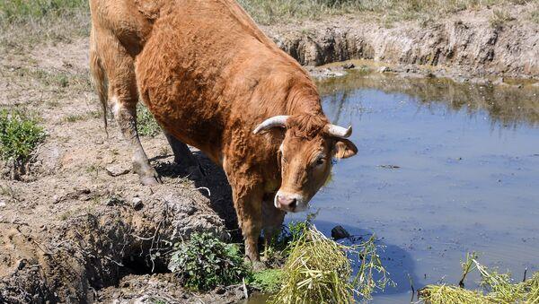 Una vaca Limousin - Sputnik Mundo