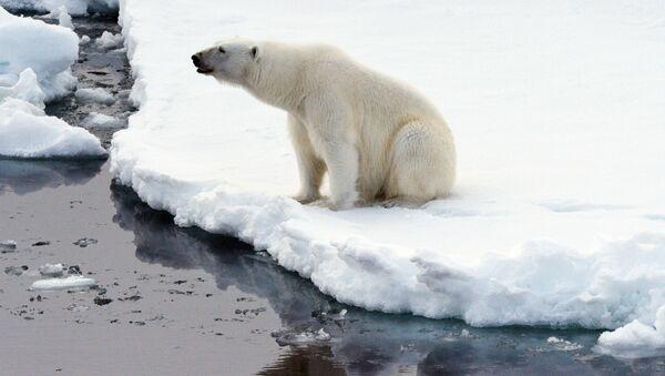 Белый медведь на льдине в Северном ледовитом океане - Sputnik Mundo