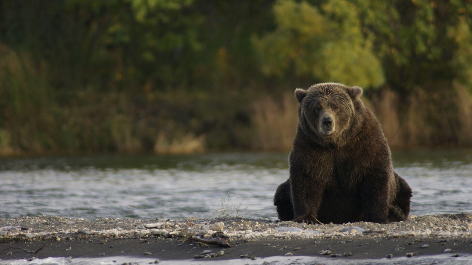 Un oso pardo (imagen referencial) - Sputnik Mundo, 1920, 17.09.2021