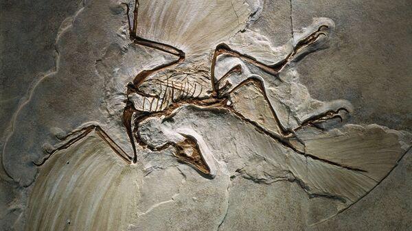 Fósil del Archaeopteryx lithographica, encontrado en la Jurassic Solnhofen Limestone of southern Germany. - Sputnik Mundo