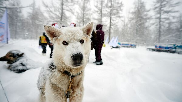 Un perro participante en la carrera 'Beringia' - Sputnik Mundo