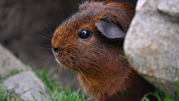 Un conejillo de Indias (imagen referencial) - Sputnik Mundo