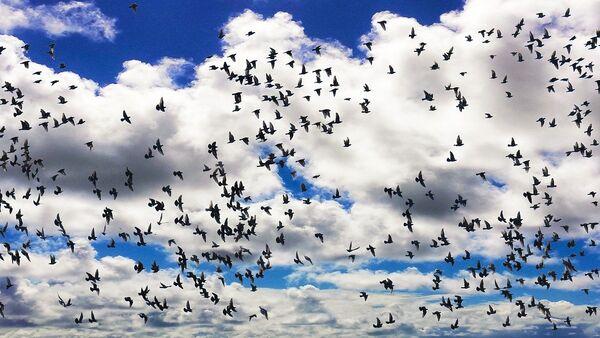 Una bandada de pájaros - Sputnik Mundo