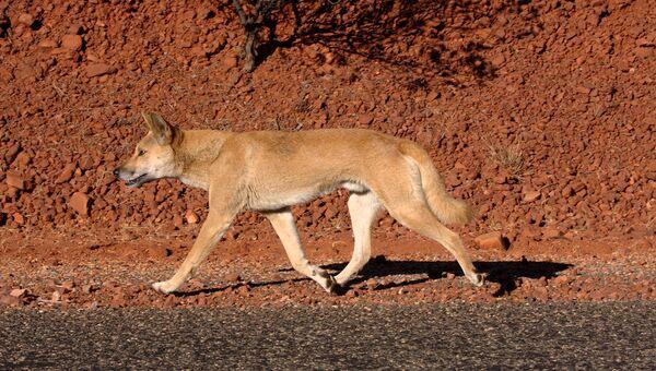 Un dingo, imagen referencial - Sputnik Mundo
