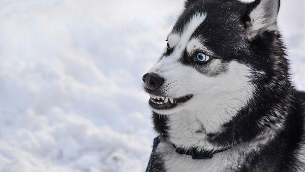 Un perro Husky furioso, imagen referencial - Sputnik Mundo