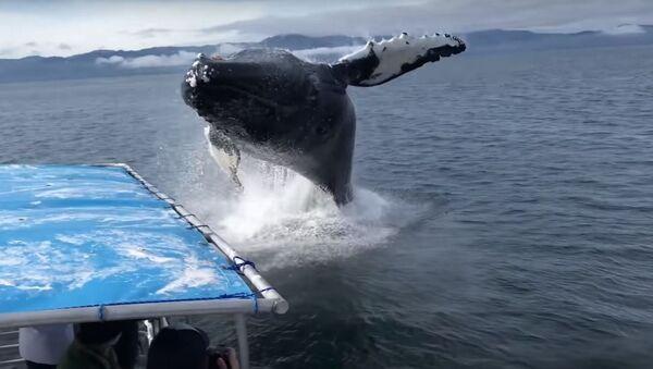Ballena jorobada salta del agua en Alaska - Sputnik Mundo