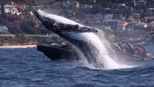 Increíble espectáculo acrobático de ballenas jorobadas - Sputnik Mundo
