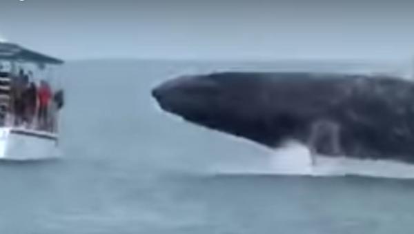 Una ballena gigante casi vuelca un barco turístico en Costa Rica - Sputnik Mundo