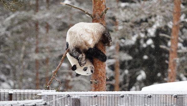 Un panda juega bajo la nieve (archivo) - Sputnik Mundo