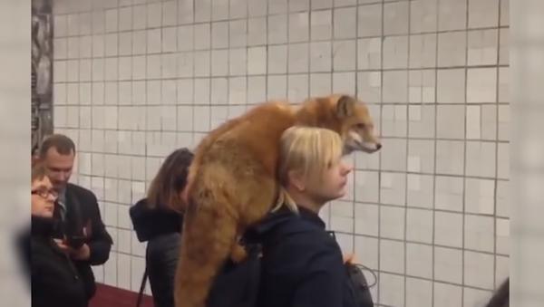 Lo normal: un zorro esperando el metro en Moscú - Sputnik Mundo