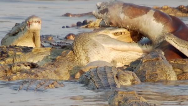 Unos hipopótamos defienden a su difunto amigo de cocodrilos - Sputnik Mundo