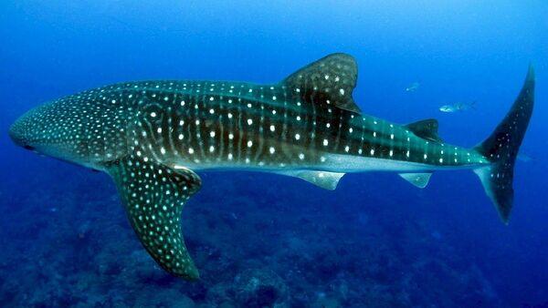 Un tiburón ballena  - Sputnik Mundo