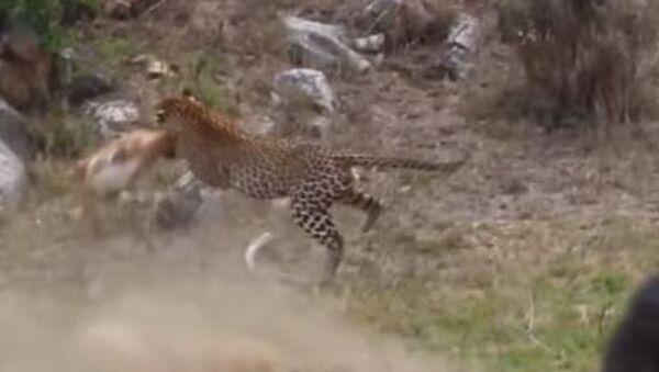 De un solo salto: un leopardo captura a un impala - Sputnik Mundo