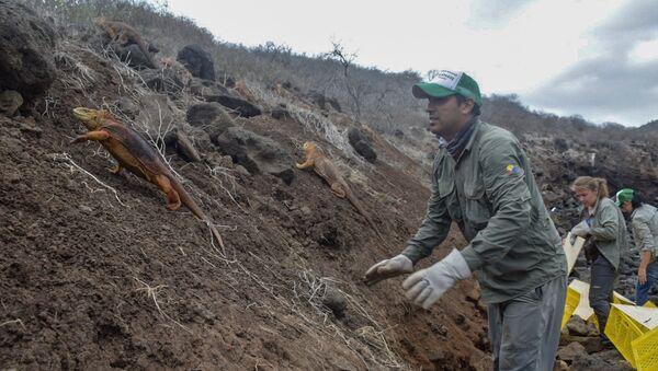 Liberación de las iguanas Conolophus subcristatus en la Isla Santiago, en Islas Galápagos - Sputnik Mundo