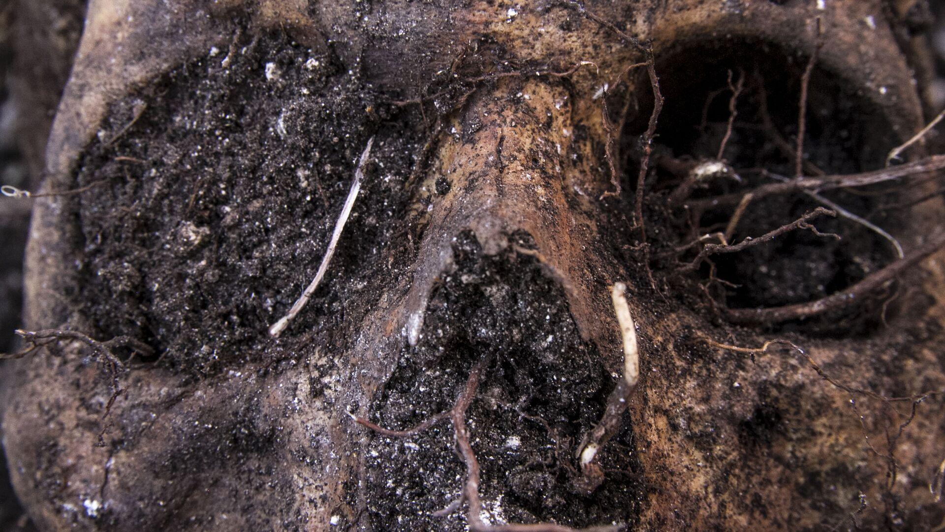 Huitzuco, Guerrero. Cráneo localizado en una fosa clandestina. - Sputnik Mundo, 1920, 28.09.2021