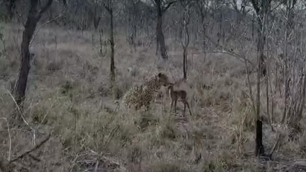 Un leopardo hace realidad la peor pesadilla de un bebé impala - Sputnik Mundo
