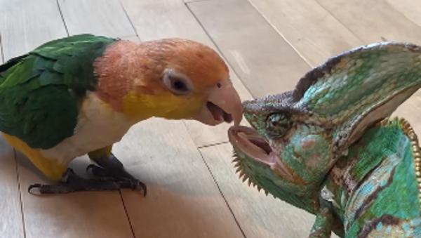 Un tierno loro intenta hacerse amigo de un camaleón… y esto es lo que pasa - Sputnik Mundo