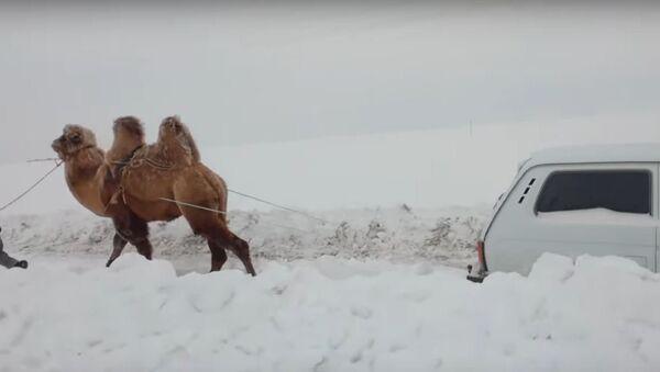 Un camello tira un auto de la nieve - Sputnik Mundo