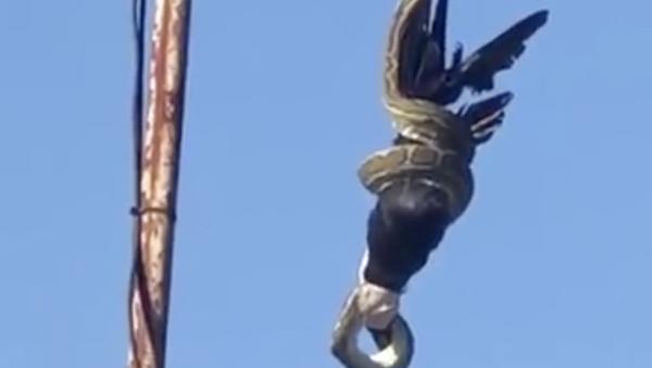 Una pitón constriñe a un cuervo desde un poste de luz (fuertes imágenes) - Sputnik Mundo