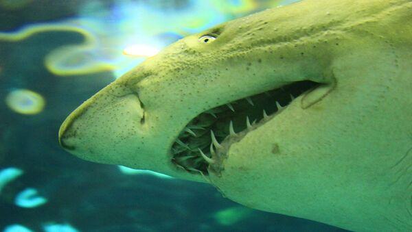 Un tiburón, imagen referencial - Sputnik Mundo