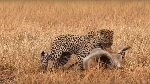 Un leopardo suertudo - Sputnik Mundo