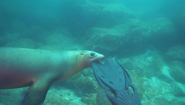 Unas aletas de buceo se convierten en el plato principal de un león marino - Sputnik Mundo