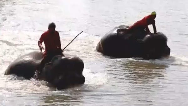 Una carrera acuática de elefantes se celebra en Tailandia - Sputnik Mundo