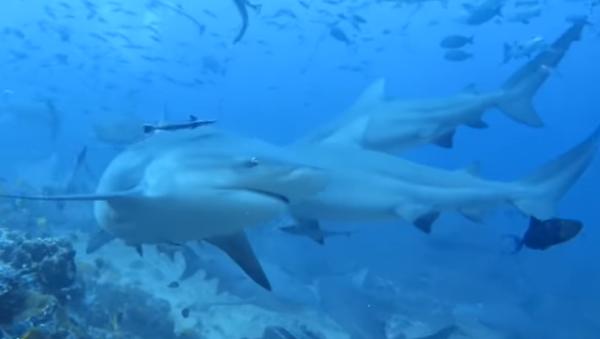 Decenas de tiburones rodean a los buzos en Fiyi (vídeo) - Sputnik Mundo