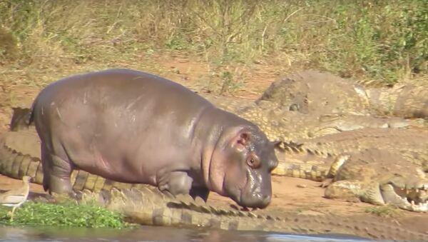 Un bebé hipopótamo se enfrenta a cocodrilos - Sputnik Mundo