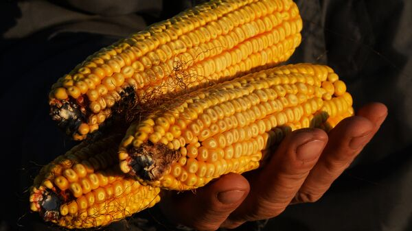 Mazorcas de maíz - Sputnik Mundo