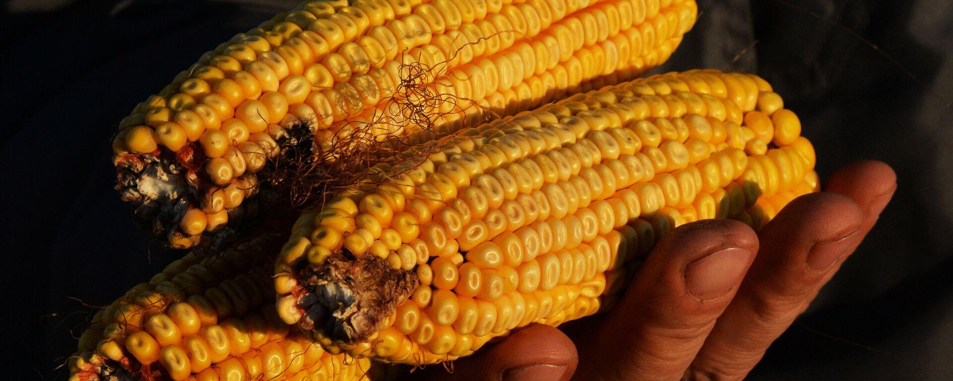 Mazorcas de maíz - Sputnik Mundo, 1920, 27.08.2021