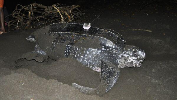 Una tortuga laúd siendo estudiada en la costa de Guinea Ecuatorial - Sputnik Mundo