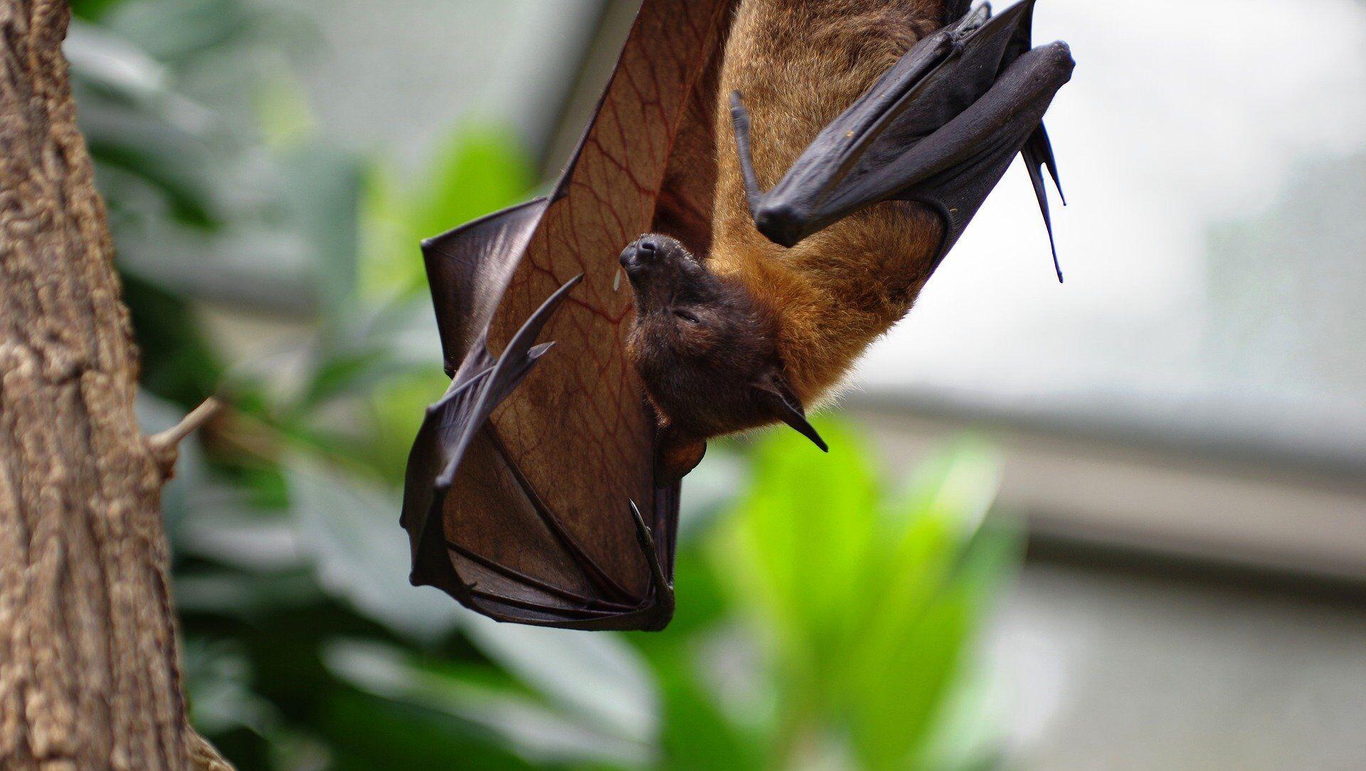 Un murciélago, imagen referencial - Sputnik Mundo, 1920, 09.02.2021