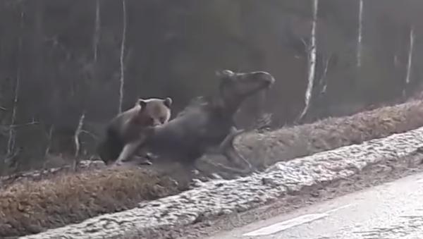 La ley de la selva es este oso cazando un alce - Sputnik Mundo