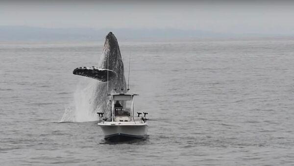 Ballena jorobada salta fuera del agua - Sputnik Mundo