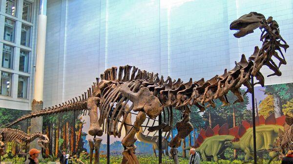 El esqueleto de un dinosaurio saurópodo  - Sputnik Mundo