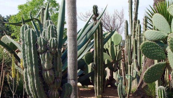 Cactus en México - Sputnik Mundo